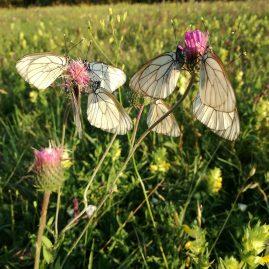 Цветя от пеперуди